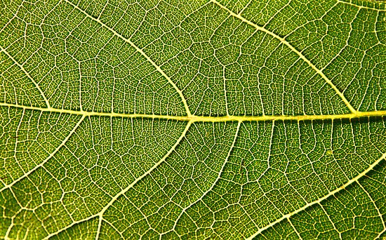 Fig Leaf Close-up by Kuzeytac