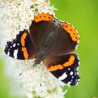 red admiral on white flower by Jicha