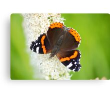 red admiral on white flower Canvas Print
