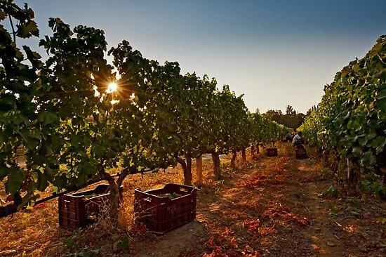Vine harvest by Konstantinos Arvanitopoulos