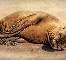 Baby Seal by CarolM