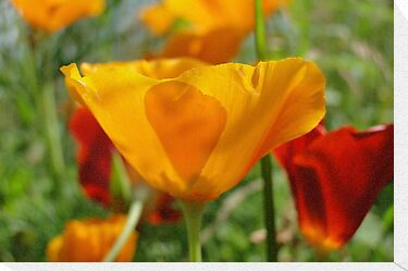 California Poppy  by AH64D