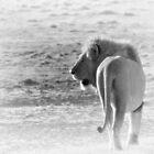 """King of Ngorongoro"" (B&W) by Andreas Koerner"