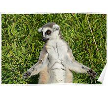 Lemur Meditating Poster