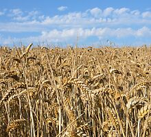 Harvest time by Pauws99