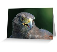 Male Harris hawk Greeting Card