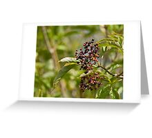 Ripening Elderberries Greeting Card