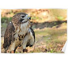 Red-Tailed Hawk ( Buteo jamaicensis) Poster