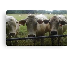 Mootown Presents! THE SUPREMES...(bovine version) Canvas Print