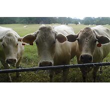 Mootown Presents! THE SUPREMES...(bovine version) Photographic Print