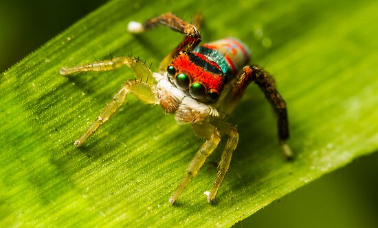 Juvenile Peacock Jumping Spider by Kerrod Sulter