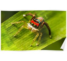 Juvenile Peacock Jumping Spider Poster