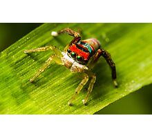 Juvenile Peacock Jumping Spider Photographic Print