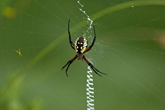 Black and Yellow Argiope by KAREN SCHMIDT