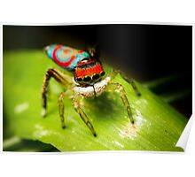 Juvenile Peacock Jumping Spider #2 Poster