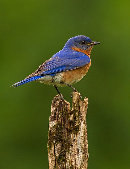 Eastern Bluebird by Bill McMullen