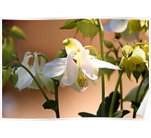 A touch of green White Columbine  Poster
