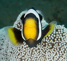 Saddleback Anemonefish - Amphiprion polymnus by Andrew Trevor-Jones