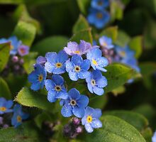 forget me not with dew by Jicha