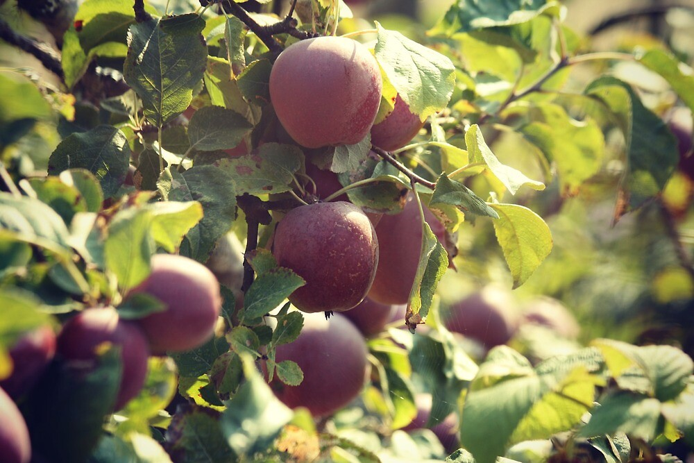 Always leave two apples on the tree to ensure good growth for the next year by Joshua Greiner