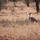 Aussie Bustard (Ardeotis australis) by Rosie Appleton
