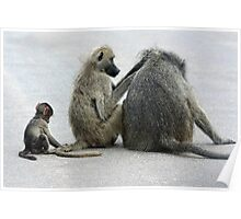 Chacma Baboons Poster