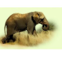 TOOTHLESS ELEPHANT Photographic Print