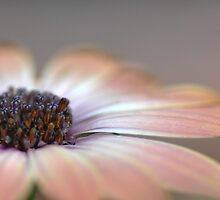 Softly ... pink by Denise Couturier