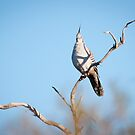 Crested Pigeon (Ocyphaps lophotes) by Rosie Appleton