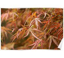 Acer Leaves Poster