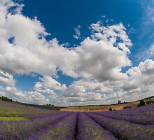 Playing amongst the Lavender by Chris Tarling