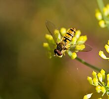 Hoverfly on Fennel by Sue Robinson
