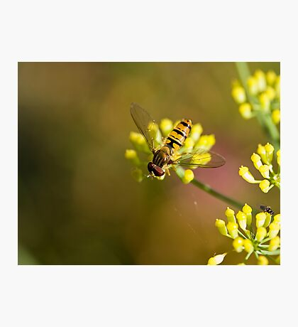 Hoverfly on Fennel Photographic Print