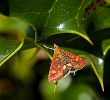 Mint Moth Micro Moth on Holly by Sue Robinson