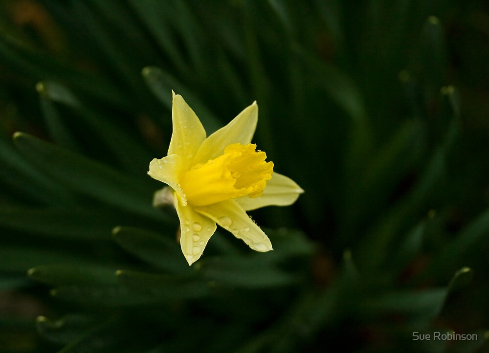 Narcissus Daffodil and leaves by Sue Robinson