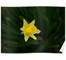 Narcissus Daffodil and leaves Poster