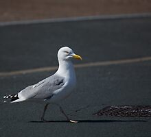Seagull crossing road by Sue Robinson