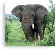 African Elephant grazing Canvas Print