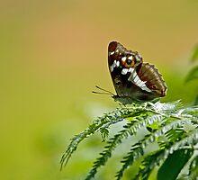 Purple Emperor butterfly by Sue Robinson