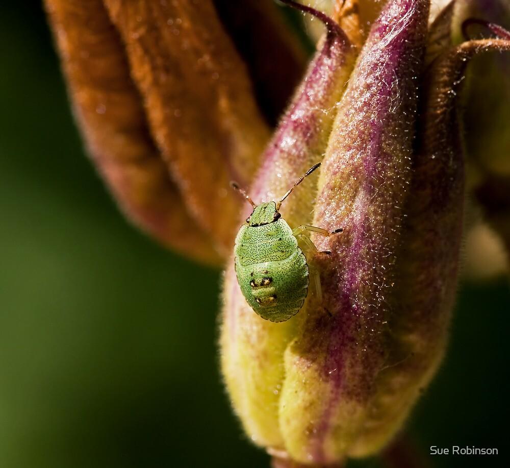 Green Shield Bug Nymph by Sue Robinson
