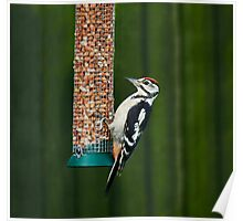Great Spotted Woodpecker on feeder Poster