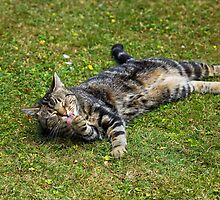 Cat washing by Sue Robinson