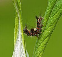 Vapourer Moth Caterpillar by Sue Robinson