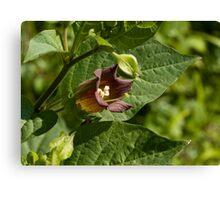 Deadly Nightshade wild flower Canvas Print