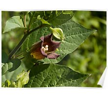 Deadly Nightshade wild flower Poster