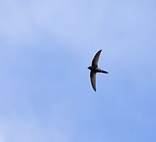 Common Swift by Sue Robinson