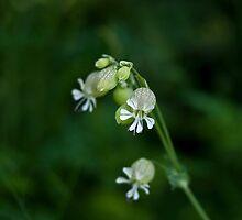 Bladder Campion wild flower by Sue Robinson