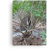 Lyrebird nest, Purnululu National Park, Western Australia Canvas Print