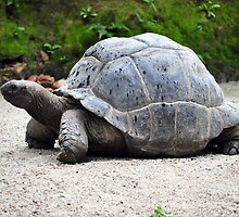 Turtle, aged 110 years, seen in Singapore   by Marcelle Moran