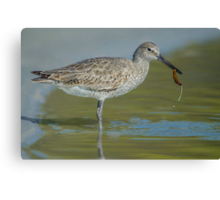 Willet lunch Canvas Print